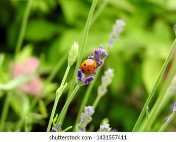 A ladybug on lavender flower buds, close-up.