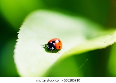 Ladybug on a leaf. Beautiful nature.