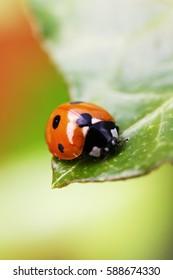 Ladybug on a Leaf edge