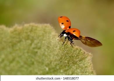 Ladybug on the leaf just before flight