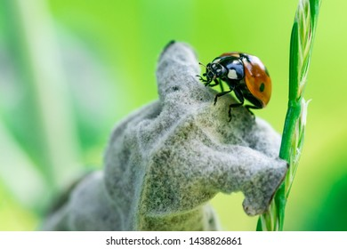 Ladybug on a leaf, Macro photo, close up, insect, Coccinellidae, Arthropoda, Coleoptera, Cucujiformia, Polyphaga