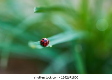 Ladybug on the leaf,It have  Scientific name is Micraspis discolor,family Coccinellidae.