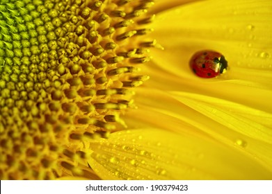 Ladybug on a Sunflower after the rain...