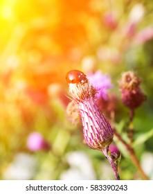 ladybug on a thistle flower in summer, soft light