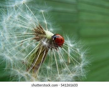 Ladybug on a white dandelion.