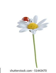 ladybug on a white flower isolated on white