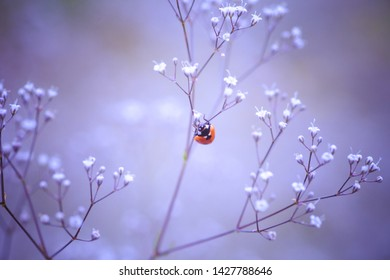 ladybug on a white small flower Gypsophila paniculata, baby's breath, common gypsophila, panicled baby's-breath on a summer field. Soft focus.