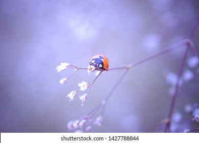 ladybug on a white small flower Gypsophila paniculata, baby's breath, common gypsophila, panicled baby's-breath on a summer field.
