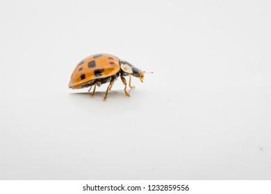 A ladybug on a white surface. Macro photography