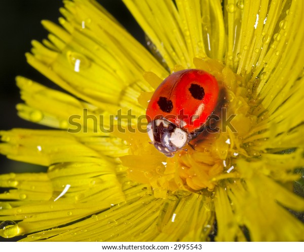 ladybug on yellow flower petals