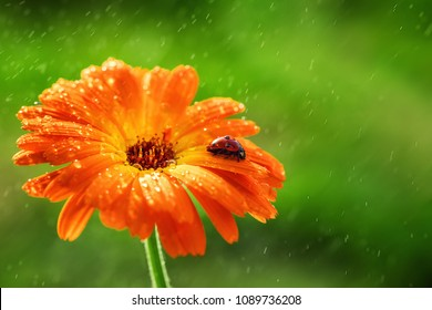 Ladybug and orange gerbera or calendula flower on sun against grass. Raining water drops.