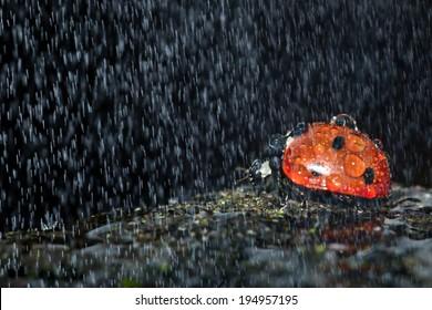A ladybug in the rain.