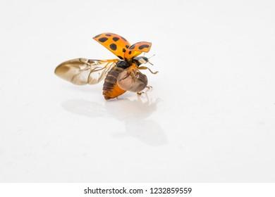 A ladybug ready for flight. Macro photography