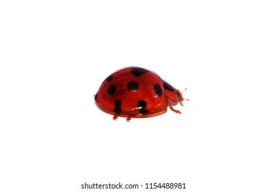 Ladybug red color