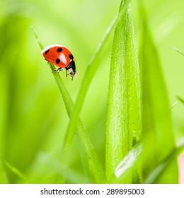 Ladybug running along on blade of  green grass. Beautiful nature