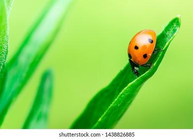 Ladybug runs down through the top of a leaf, Macro photo, close up, insect, Coccinellidae, Arthropoda, Coleoptera, Cucujiformia, Polyphaga