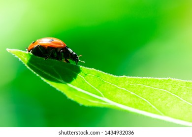 Ladybug runs down from a top of the leaf, Macro photo, close up, insect, Coccinellidae, Arthropoda, Coleoptera, Cucujiformia, Polyphaga