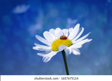 Ladybug sits on a flower, Closeup of a ladybird on a flower with blue background. Red ladybug with black points sitting on white daisy flower. Resting on a flower