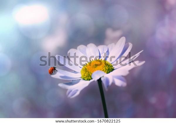 Ladybug sits on a white daisy, (Leucanthemum vulgare)