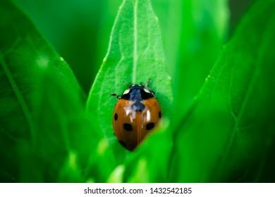 Ladybug, sitting in the middle on a leaf, Coccinellidae, Arthropoda, Coleoptera,