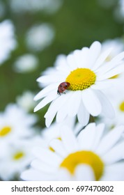 Ladybug sitting on a petal of a daisy.Summertime.