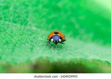Ladybug standing in the middle of the leaf, Coccinellidae, Arthropoda, Coleoptera, Cucujiformia, Polyphaga