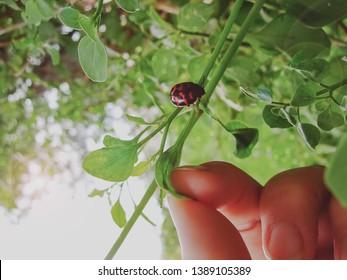 ladybug, vaquita de san antonio, hand, biologist, part of the human body, observation,