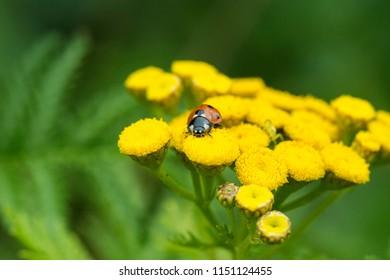 Ladybug waiting a flower