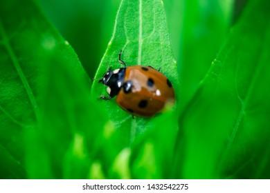 Ladybug, walking on a plant, Coccinellidae, Arthropoda, Coleoptera,