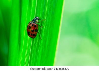 Ladybug walks down on a leaf, Macro photo, close up, insect, Coccinellidae, Arthropoda, Coleoptera, Cucujiformia, Polyphaga