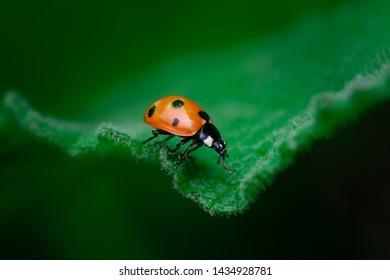 Ladybug walks on the edge of a leaf, Macro photo, close up, insect, Coccinellidae, Arthropoda, Coleoptera, Cucujiformia, Polyphaga