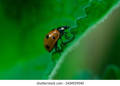 Ladybug walks up on the edge of a leaf, Macro photo, close up, insect, Coccinellidae, Arthropoda, Coleoptera, Cucujiformia, Polyphaga
