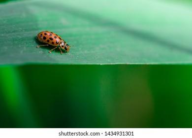 Ladybug walks on the edge of a leaf, Macro photo, close up, insect, Coccinellidae, Arthropoda, Coleoptera, Cucujiformia, Polyphaga, Henosepilachna