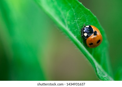 Ladybug walks up on a leaf, Macro photo, close up, insect,  Coccinellidae, Arthropoda, Coleoptera, Cucujiformia, Polyphaga