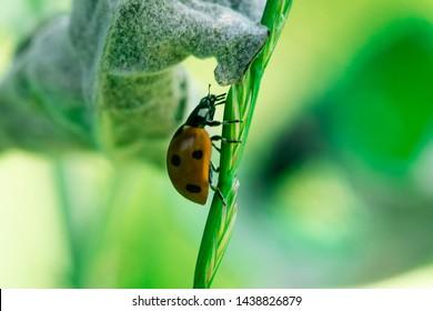 Ladybug walks up on the stem of a plant, Macro photo, close up, insect, Coccinellidae, Arthropoda, Coleoptera, Cucujiformia, Polyphaga