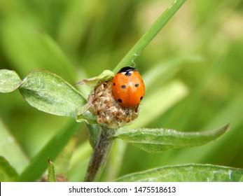 ladybug in the wild close up