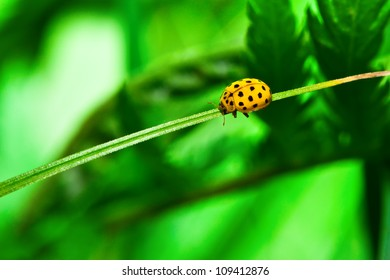 ladybug of yellow color on a grass