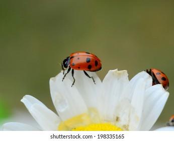 Ladybugs eating a daisy
