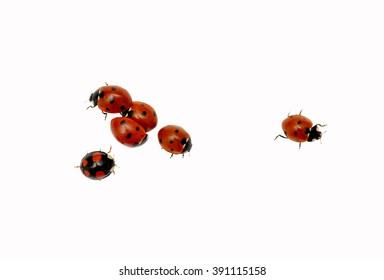 Ladybugs isolated on white background.