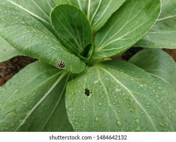 Ladybugs on the leaves of mustard Pakcoy or bok choy