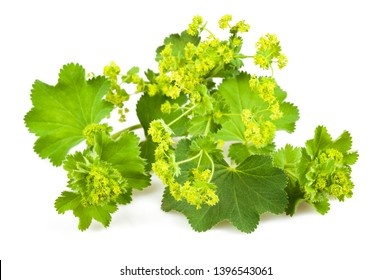 Lady's Mantle with flowers  isolated on white background