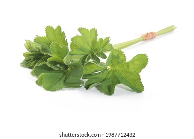 Lady's Mantle leaves isolated on white background. Herbal tea. (Alchemilla mollis)