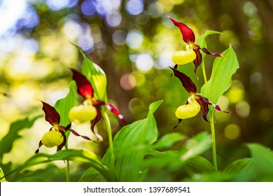 7ddd60eba Lady's Slipper Orchid flower. Yellow with red petals blooming flower in  natural environment. Lady