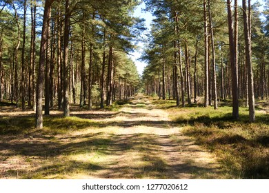 Laesoe / Denmark: Romantic forestry lane through a coniferous forest in the nature reserve Laesoe Klintplantage on a sunny day at the end of April