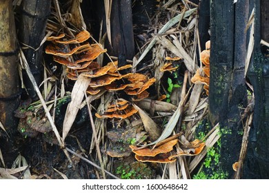 "Laetiporus sulphureus, ""chicken on the woods"" mushroom grown at bamboo bush."