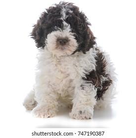 lagatto romagnolo puppy sitting down on white background