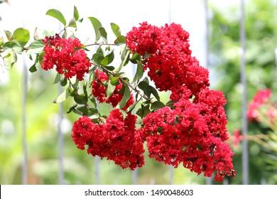 lagerstroemia flower, Lagerstroemia indica, crape myrtle, crepe myrtle, crepeflower