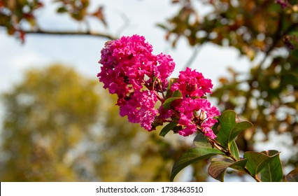 Lagerstroemia indica. Branch with lilac flowers in sunlight.