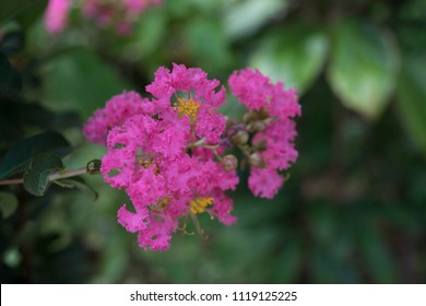6 petals images stock photos vectors shutterstock lagerstroemia indica lape myrtle flowers are bouquet at the end of the petals mightylinksfo