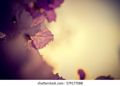 Lagerstroemia macrocarpa Wall Flower,Lythraceae,Queen's flower.vintage tone